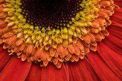 Цветок собрания маргаритки gerber Стоковая Фотография RF