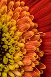 Цветок собрания маргаритки gerber Стоковое фото RF