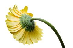 Цветок собрания маргаритки gerber Стоковые Изображения