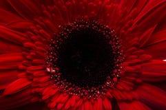 Цветок собрания маргаритки gerber Стоковое Изображение RF