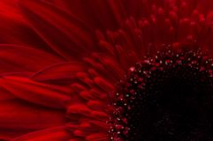 Цветок собрания маргаритки gerber Стоковые Фотографии RF