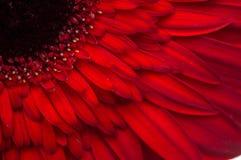 Цветок собрания маргаритки gerber Стоковая Фотография