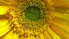 цветок солнечный стоковые изображения rf