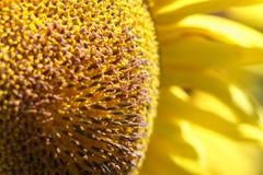 цветок солнцецвета на апельсине запачкал предпосылку, знамя для сетей Стоковое фото RF