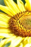 цветок солнцецвета на апельсине запачкал предпосылку, знамя для сетей Стоковые Изображения