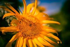 Цветок Солнця яркий как смогите быть стоковые фотографии rf
