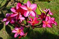 Цветок соотечественника Лаоса Стоковые Фото
