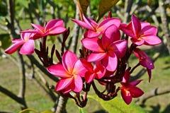 Цветок соотечественника Лаоса Стоковое фото RF