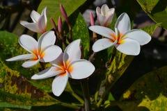Цветок соотечественника Лаоса Стоковая Фотография RF