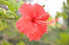 Цветок соотечественника Малайзии стоковые изображения rf