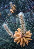 Цветок сосны Стоковые Изображения RF