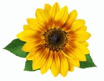 Цветок солнцецвета изолированного на белой предпосылке Стоковая Фотография