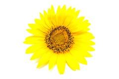 Цветок солнцецвета изолированный на белизне Стоковое Изображение