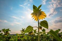 Цветок солнцецвета Стоковое Фото