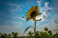 Цветок солнцецвета Стоковое Изображение RF