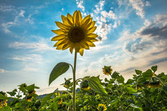 Цветок солнцецвета Стоковые Изображения RF