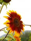 Цветок Солнця Стоковая Фотография RF