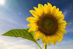 Цветок Солнця Стоковые Фото