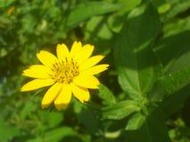 Цветок Солнця Стоковое Изображение