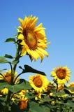 Цветок Солнця Стоковое фото RF