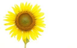 Цветок Солнця Стоковые Фотографии RF