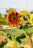 Цветок Солнця Стоковое Фото