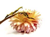 Цветок соломы Стоковые Фотографии RF