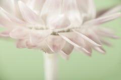 Цветок соломы Стоковое Фото