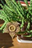Цветок стапелияи желтый Стоковое Изображение RF