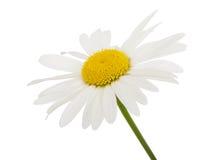 Цветок стоцвета белой маргаритки Стоковые Изображения