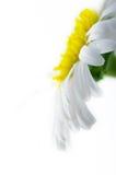 цветок стоцвета близкий вверх по белизне Стоковое Изображение