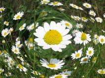 Цветок стоцвета - предпосылка маргаритки флористическая Стоковая Фотография RF