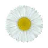цветок стоцвета Стоковая Фотография