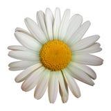 Цветок стоцвета Стоковые Фото
