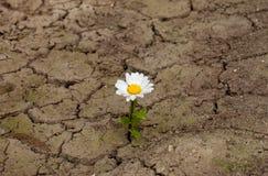 Цветок стоцвета Стоковое Изображение