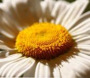 цветок стоцвета Стоковое Изображение RF