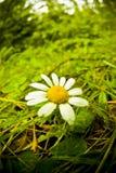 цветок стоцвета Стоковые Изображения