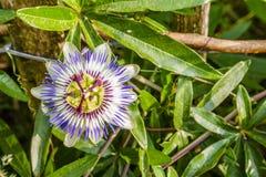 Цветок страсти в природе стоковое изображение
