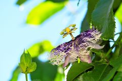 Цветок страсти Стоковые Фото