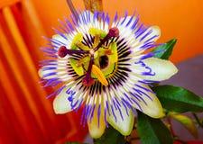 Цветок страсти Стоковые Изображения