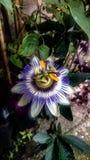 Цветок страсти Стоковые Изображения RF