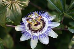 Цветок страсти Стоковая Фотография RF