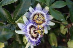 Цветок страсти Стоковое Изображение RF