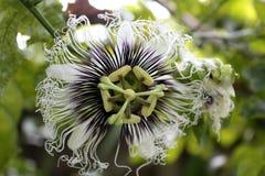 Цветок страсти Стоковое Фото