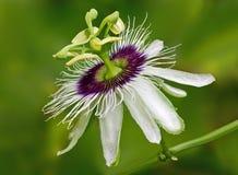 Цветок страсти Стоковая Фотография