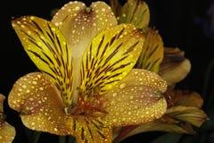 Цветок 11 страсти Стоковое Фото