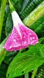 Цветок славы утра Стоковые Изображения RF