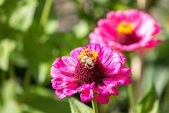 Цветок с лепестками сирени Стоковые Изображения RF