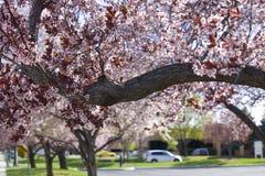 Цветок сливы Стоковое Фото