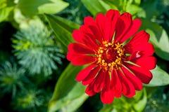Цветок с красными лепестками снял конец-вверх против зеленой предпосылки Стоковое Изображение
